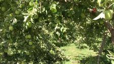 Şırnak'ta kuraklığın uğramadığı köyde tonlarca elma yetişti