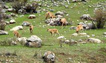 Terörden temizlenen Munzur Dağları'nda yaban keçileri görüntülendi