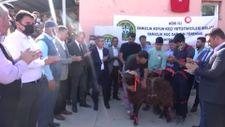 Ağrı'da 150 damızlık koç yetiştiricilere dağıtıldı