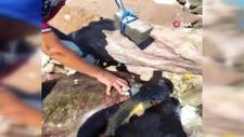 Çanakkale'de, parke taşı bağlanarak denize atılan caretta caretta kurtarıldı