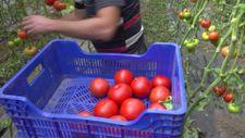 Burdur'un Söğüt domatesine yoğun ilgi