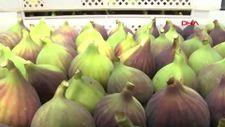 Bursa'nın coğrafi işaretli siyah inciri, Avrupa'ya ihraç ediliyor