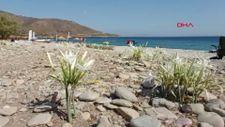 Kum zambakları çiçeklendi; koparmanın cezası 80 bin 465 TL