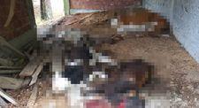 Sinop'ta ayılar, 6 büyükbaş hayvanı telef etti