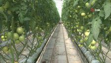 Eskişehir'de sıcak su ile yıllık 1.200 ton domates üretiliyor