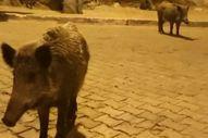 Muğla'da görüntülediği domuzlarla sohbet etti