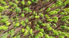 Samsun'da yerli ve milli kenevirler hasat için gün sayıyor