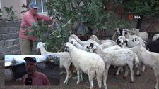 Amasya'da emekli ikramiyesi ile aldığı koyunlar çalındı