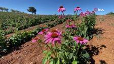 Isparta'da ekinezyalar ilaç ve kozmetik sanayide kullanılıyor