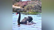 Annesinin sırtında yolculuk eden bebek kuğu