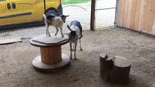 Anne keçi ve yavrusunun sevimli oyunu