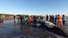 Arjantin'de mahsur kalan iki kambur balina kurtarıldı