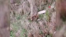 Arnavutköy'de aç kalan tilki, evin bahçesindeki ekmeği alıp kaçtı