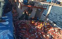 Çanakkaleli balıkçılar 15 bin adet lüfer yakaladı