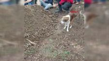 Düzce'de sahibi ölen köpek, mezar başında bekledi