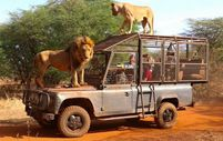Senegal'de açık alandaki aslanları yakından görebilmek için kafese giriyorlar