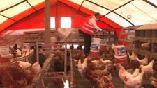 İstanbul'da tavuklara sanat müziği eşliğinde yumurtlama seansı