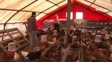 İstanbul'da tavukların verimini müzikle arttırdı