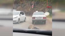 Kocaeli'de bir sürücü domuzu otomobilinin arkasına bağlayıp sürükledi