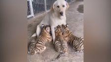 Bebek kaplanları emziren köpek