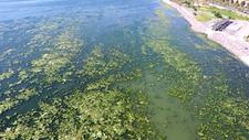 İzmir Bostanlı'da kıyıya yakın noktaları, deniz marulu kapladı