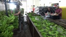 Mersinli muz üreticileri marketlerdeki fiyatlara tepkili