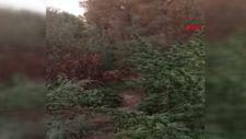 UNESCO listesindeki Hevsel Bahçeleri'ne Hint keneviri ektiler