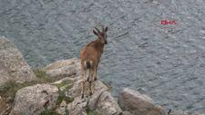 Artvin'de yiyecek arayan yaban keçileri kameraya yansıdı
