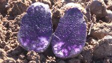Sivas'ta mor renkli patates hasadı