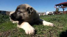 Kangal köpekleri yılda 2 defa yavruluyor, yavrular 5 bin liraya alıcı buluyor