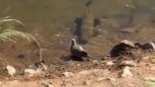 Brazilya'da etçil balığın güvercini avlama anı
