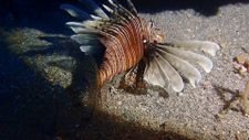 Kızıldeniz'in istilacısı aslan balığı Ege'de de yayılıyor