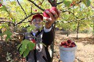 Amasya'da 'elma kurdu' Ahmet Dede'nin gözü Külliye'de