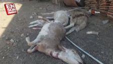 Ağıla giren sokak köpekleri 10 koyunu telef etti