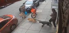 ABD'de iki pitbull küçük köpeğe saldırdı