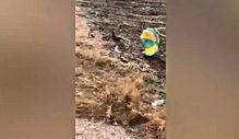 Çin'de tavuğu paraşütle uçaktan attılar