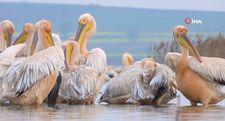 Manyas Kuş Cenneti'nde ak pelikanların uyumu