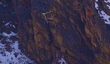 Kendinden büyük avıyla birlikte 400 metre düşen kar leoparı