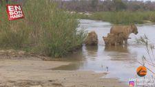 Aslan ailesinin su kenarındaki eğlencesi