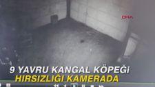 9 yavru Kangal köpeği hırsızlığı kamerada