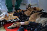 Mersin'de bir köpek sezaryenle 16 yavru dünyaya getirdi