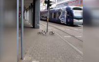 Trafik ışığını bekleyen ördekler