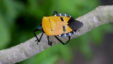 İnsan yüzlü böcek