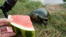 Sevdiği yiyecekleri yiyen kaplumbağa