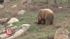 Ayıları kış uykusu tutmadı