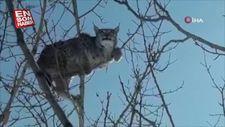 Köpekten kaçan 'vaşak' ağaca tırmandı
