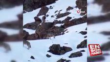 Erzincan'da kurtların arasında gezen yaban keçisi