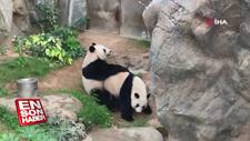 Hong Kong'da pandalar 10 yıl sonra çiftleşti