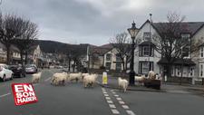 Galler'de, boş kalan sokaklara dağ keçileri indi