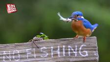 Yalıçapkının balık avı